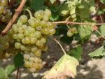 Muscat of Spina