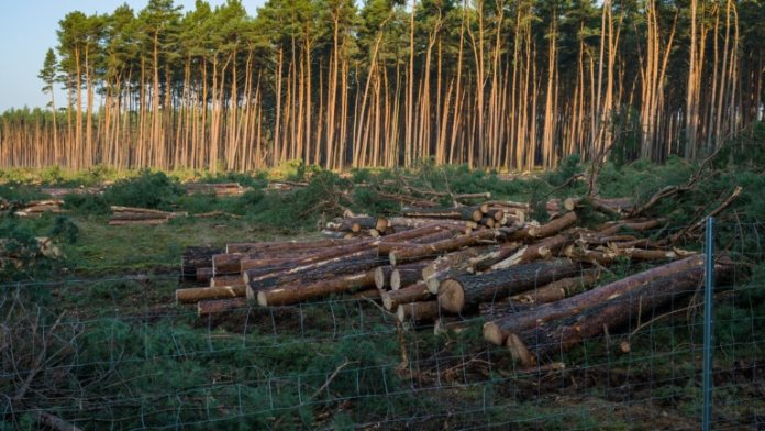 Felled trees are on the construction site of the Tesla Gigafactory.  In court, environmentalists have stopped the early start of further clearing of forest on the site of the US electric car manufacturer Tesla (Photo: dpa)