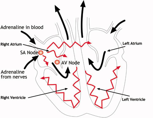 Diagram of electrical impulses of the heart auto wiring diagram medical details pertaining to the sudden death of kasia ber c r y rh c r y org uk normal electrical pathway heart electrical heart in the process ccuart Images