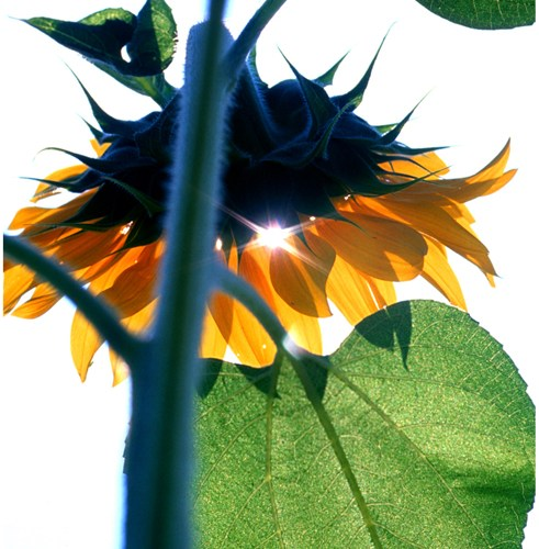 Jeff White photograph of Sunflower