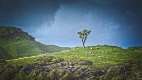 sheep-grazing-on-the-mountain-smaller