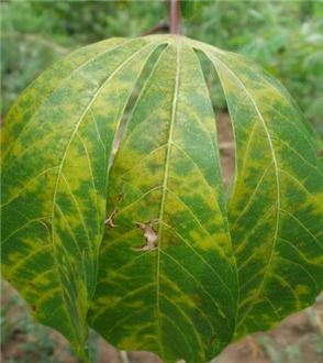 Symptoms of cassava brown streak disease on cassava leaves