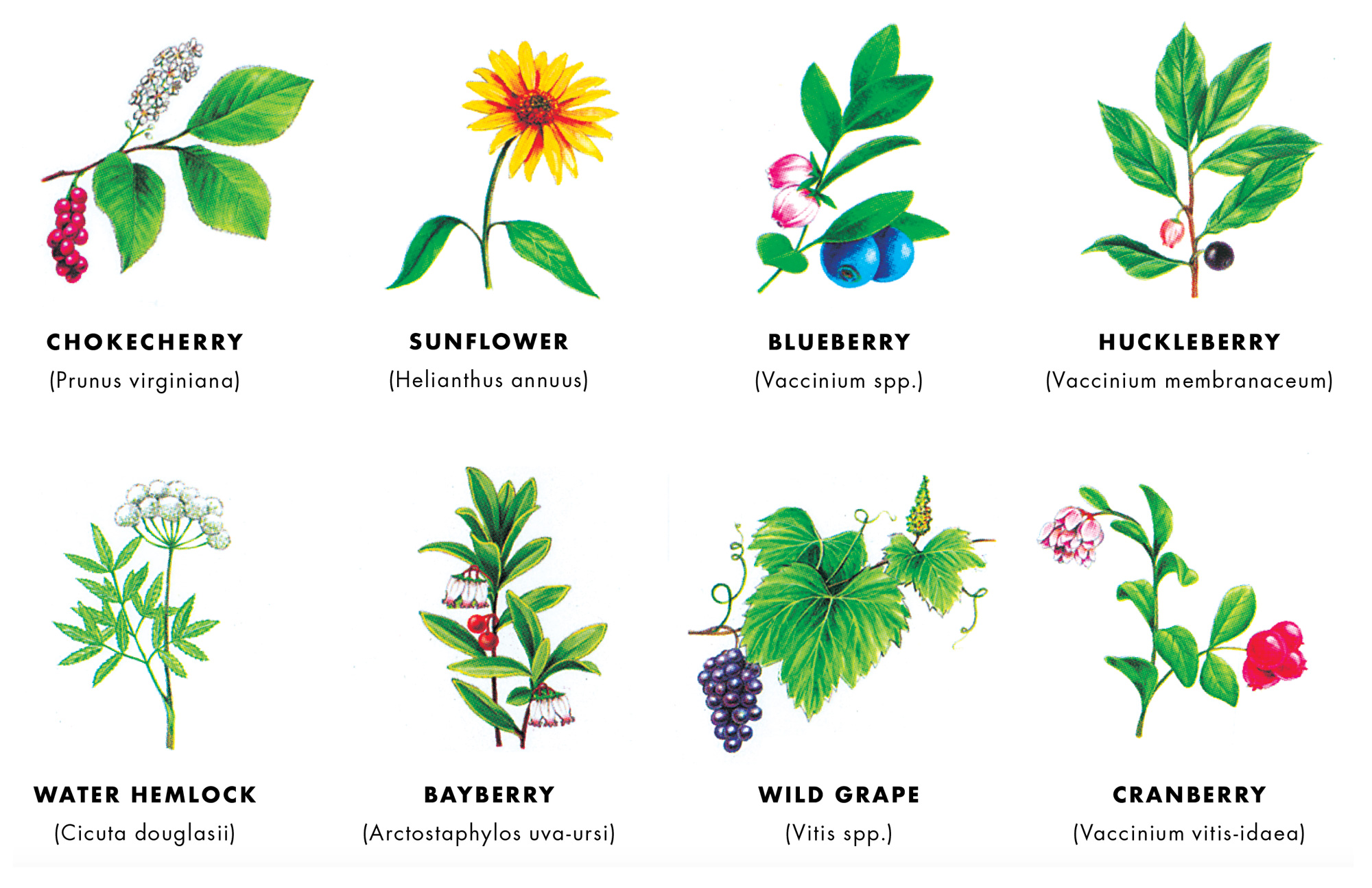 Cabinet Thoreau S Wild Fruits
