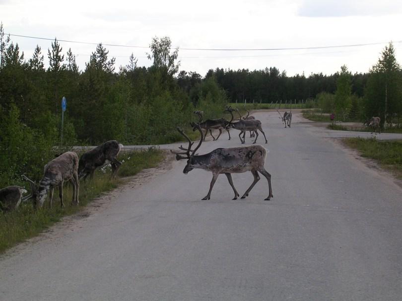 Reindeers in Finland