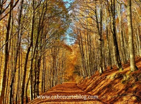 bosque. selva de irati, irati, hayedo, hayas, otoño