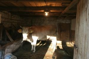 ze-vaca