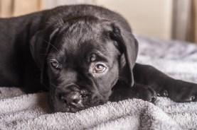 Momoko Cane Corso Puppy (10 of 11)