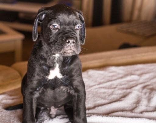 Momoko Cane Corso Puppy (6 of 11)