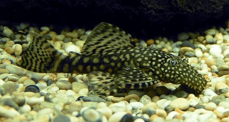 Angelfish Tank Mates Bristlenose Pleco