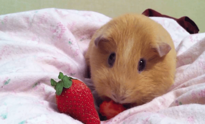 can guinea pigs eat strawberry leaves plant