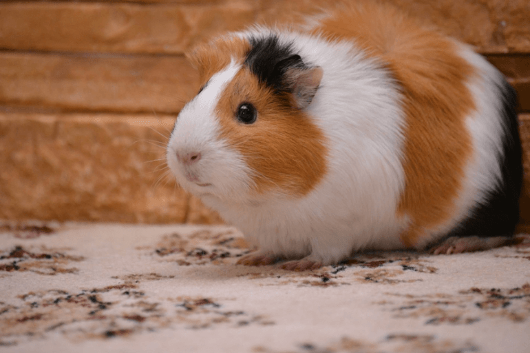 how long do american guinea pigs live