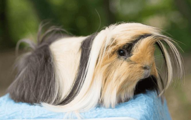 peruvian guinea pig dish