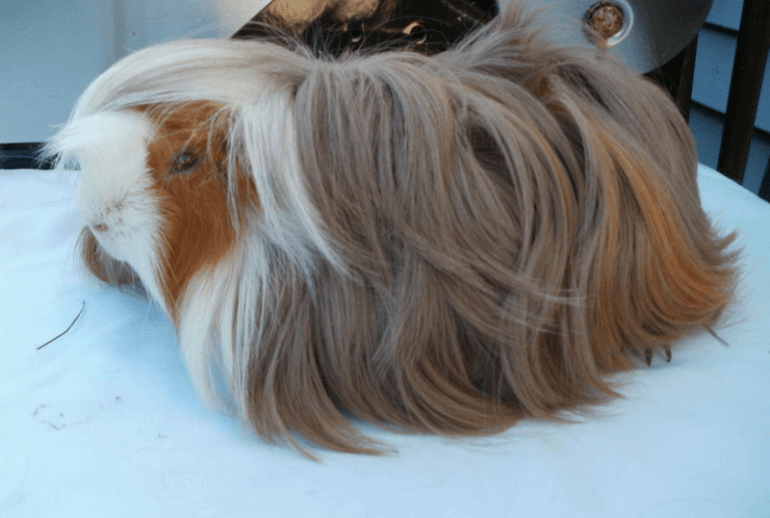 peruvian guinea pig for sale