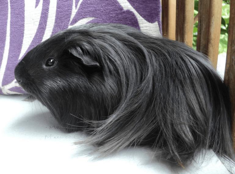 peruvian guinea pig origins