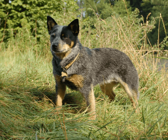 Animals Without Tail: Australian Stumpy Tail Cattle Dog