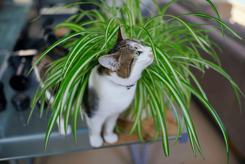 Are spider plants poisonous to cats this facts you do Houseplants not toxic to cats