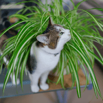 Are Spider Plants Poisonous to Cats? This Facts You Do Know Yet