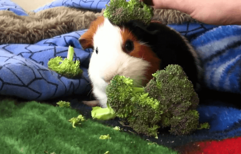 Can Guinea Pigs Eat Chinese Broccoli