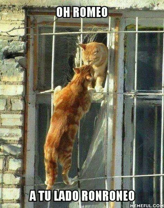 Ronroneo oh Romeo