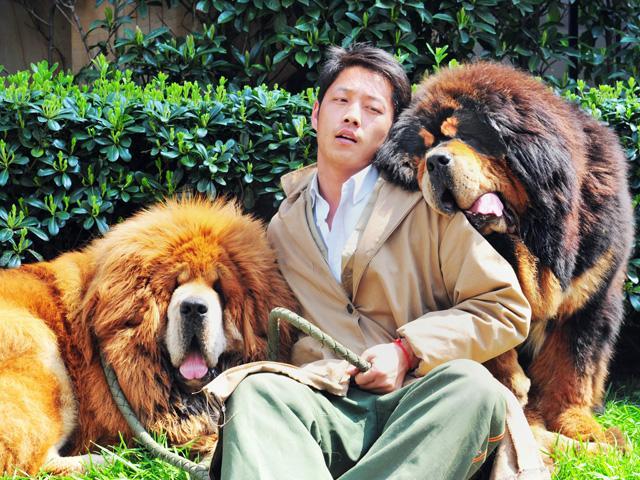 Tener un mastín tibetano en China es igual que tener un Ferrari o un reloj de oro y diamantes. Es sinónimo de estatus, de la alta élite. Este perro se compara a los leones por su impresionante melena.