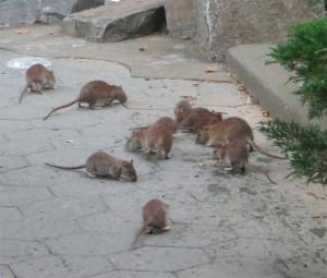 Revelan que las ratas de Nueva York son portadoras de virus mortales para los humanos