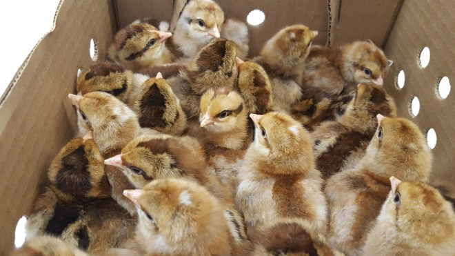 Bielefelder Baby Chicks - Chickens For Sale | Cackle Hatchery