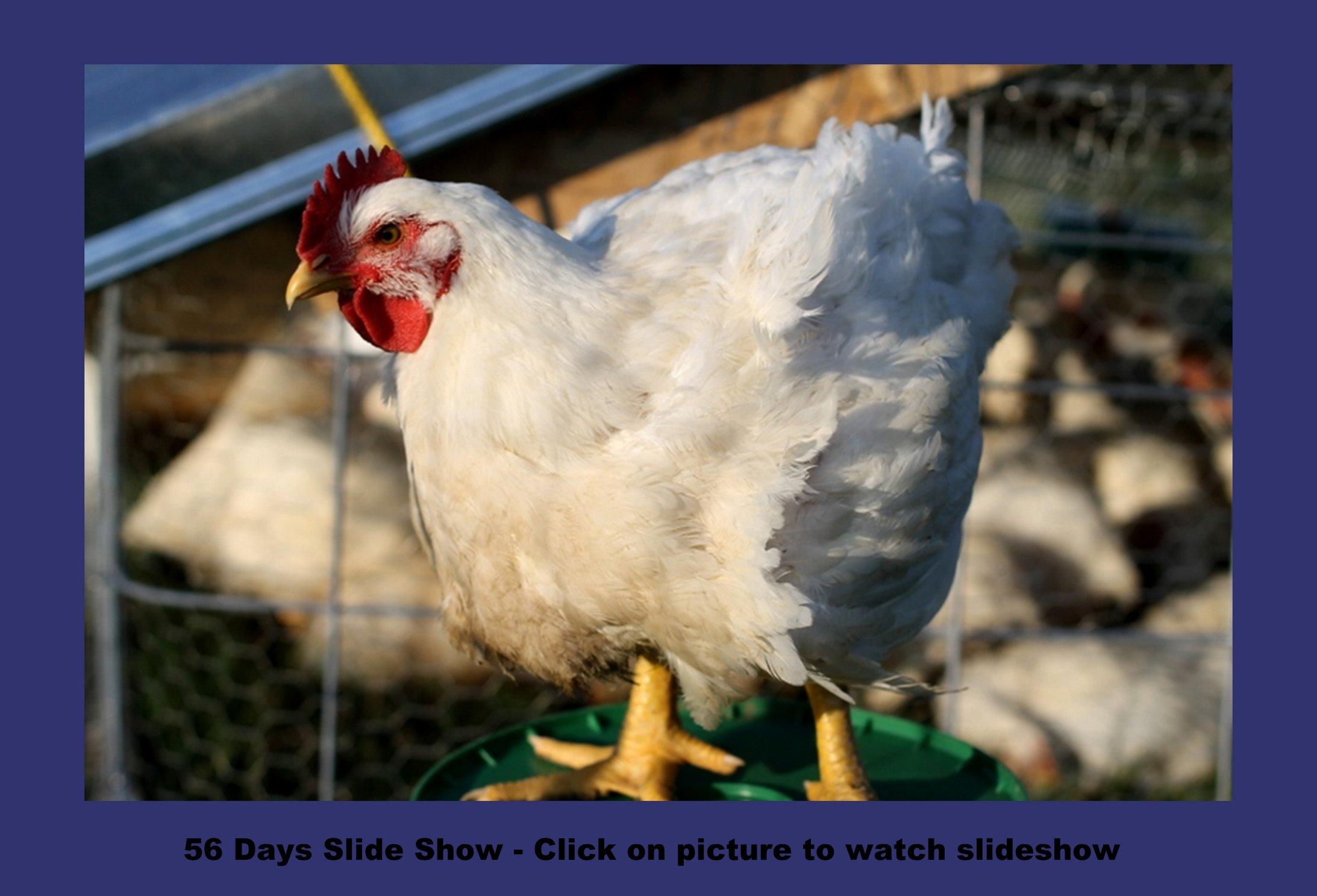 Bobwhite Jumbo Quail Chicks