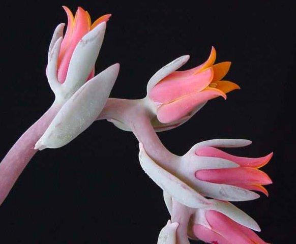 Resultado de imagem para flor de echeveria
