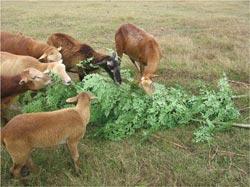 La moringa es un excelente alimento animal