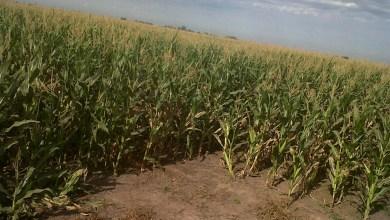 Photo of El secreto para cultivar más maíz en menos tiempo