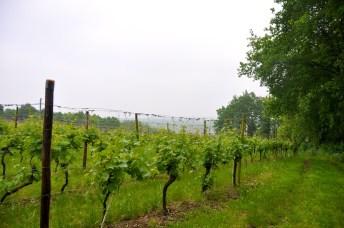 wijnranken