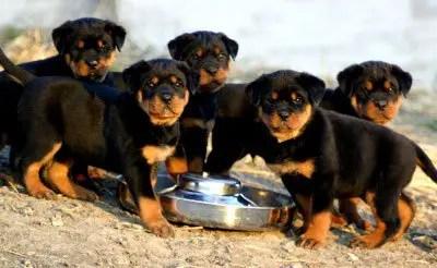 Resultado de imagem para cachorro de raça rottweiler