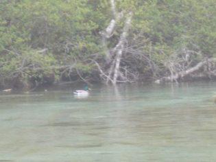 canard colvert au lac de Suyen