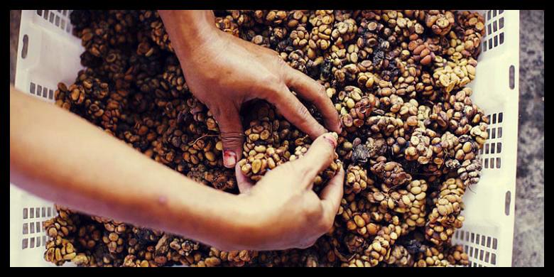 Café issu d'excrément du luwak