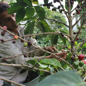 Recolección, Cafe de altura, Proceso del café, Caficultores,agricultores, Café Las Margaritas Especial Tipo Exportación, Vendedores de Café Colombiano, café origen