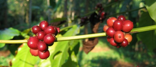 Coffee_berries_(1)