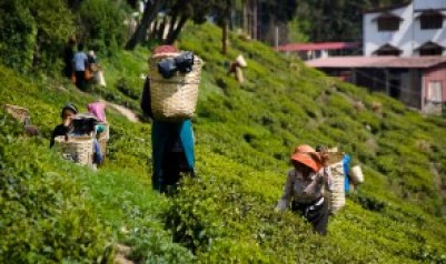 te Darjeeling