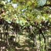 Tour Vinho e Paisagem da Vinícola Cristofoli