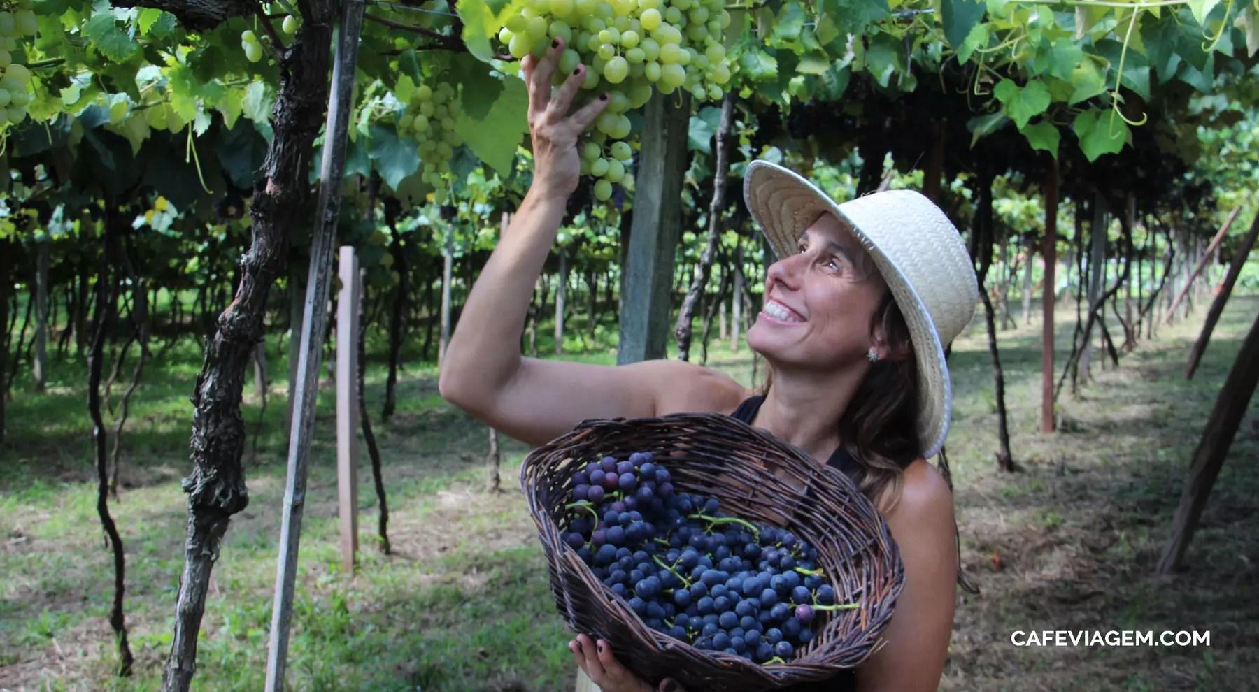 pisa e colheita da uva Vindima serra gaúcha