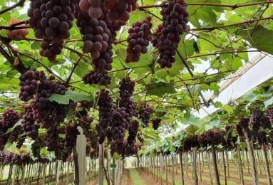 vinhos Campos de Cima da Serra