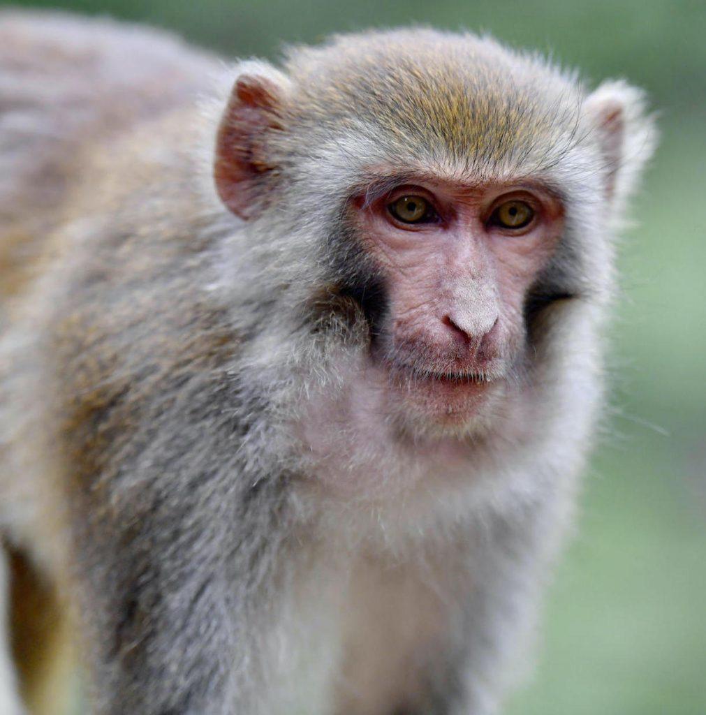 Monkey B-Virus vaiolo scimmie