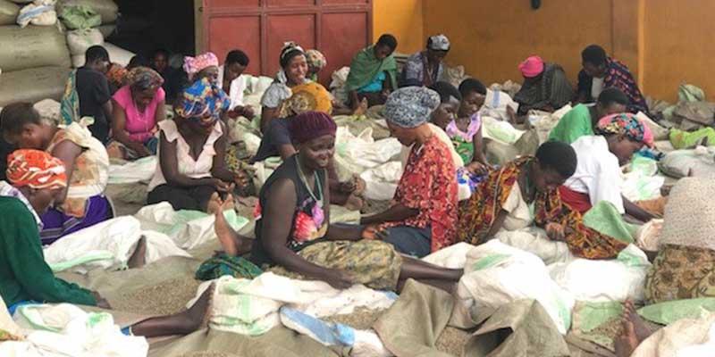 2017 Africa Coffee Buying trip Uganda Kukonzo Joint Cooperative hand sorting process