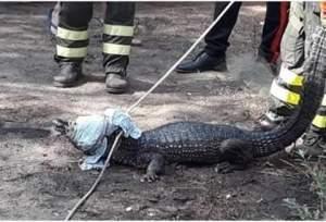 Ritrovato Jack, il caimano scomparso da Cala Liberotto