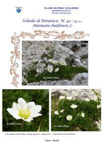 Scheda di Botanica n. 43 Anemone baldensis fg. 3 - Piera, Emilio