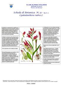 Cephalanthera rubra 2