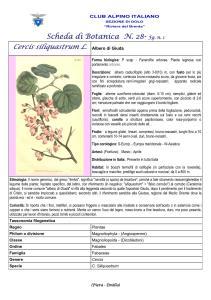 Cercis siliquastrum n.1