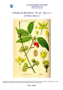 Scheda di Botanica N. 38 Cornus mas fg. 2 - Piera, Emilio