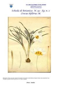 Scheda di Botanica N. 39 Crocus biflorus fg. 2 - Piera, Emilio