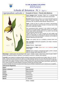Cypripedium calceolus fg. 1