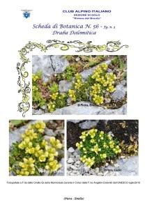 Scheda di Botanica N. 56 Draba dolomitica fg 3 - Piera, Emilio